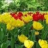 Những bông hoa Tuy-lip